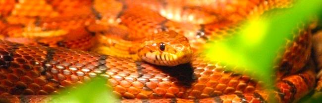 classic corn snake - photo #40