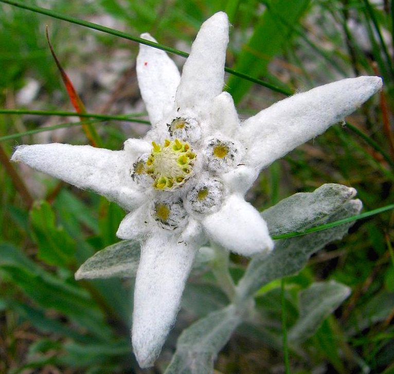 Edelweiss arnold zwickys blog the plant in the wild m4hsunfo