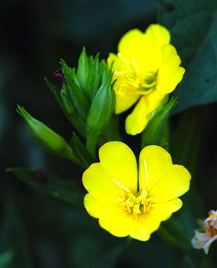 Primroses arnold zwickys blog mightylinksfo