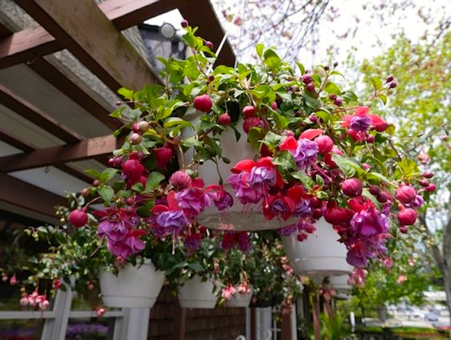 Hanging Flower Baskets For Full Sun : Derivation arnold zwicky s