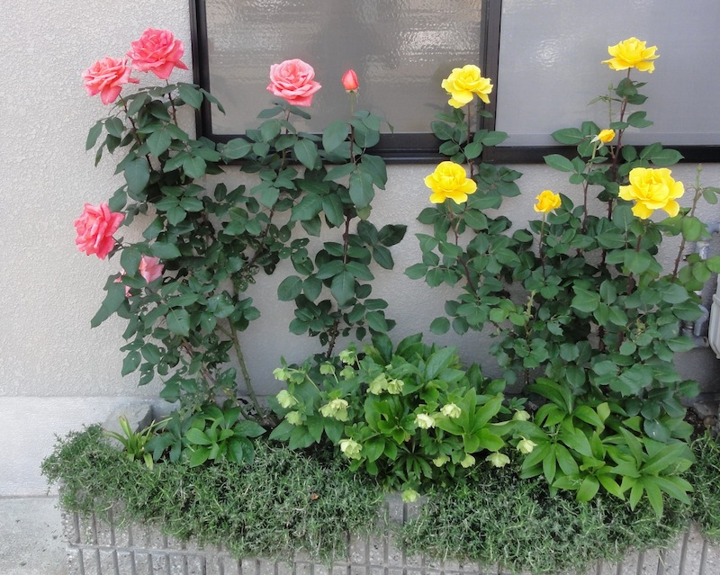 I never promised you a rose garden arnold zwicky 39 s blog - Never promised you a rose garden ...
