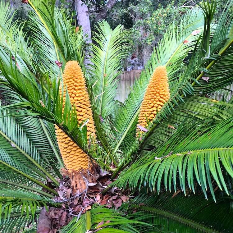 Sago palms   Arnold Zwicky s Blog