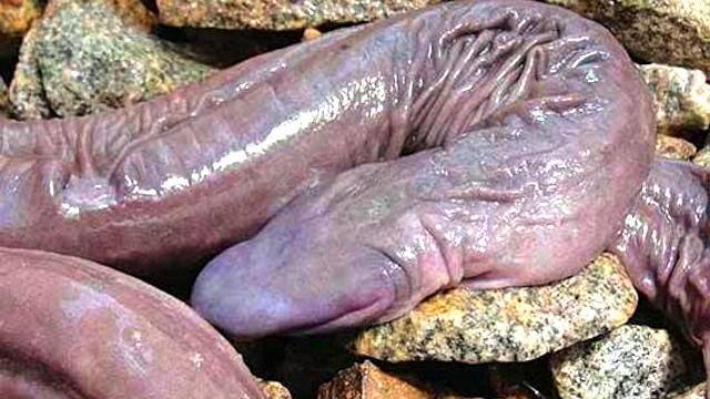 penis amazon fish
