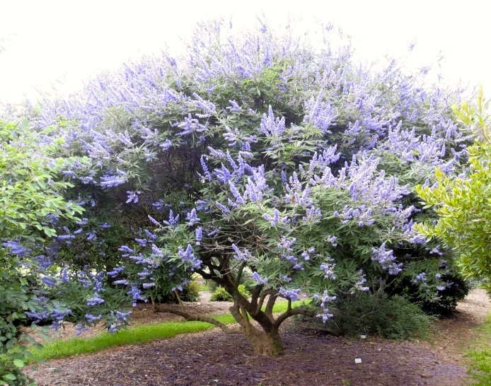 What is vitex used for