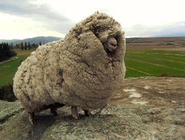 WoollySheep.jpg